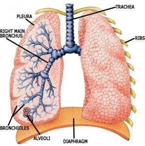 Органы, заболеваниями которых занимается пульмонолог