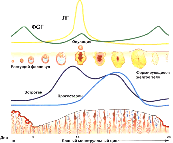 Уровень гормонов в зависимости от дня цикла