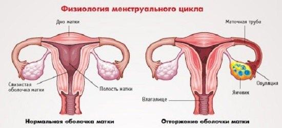 fiziologiya-cikla