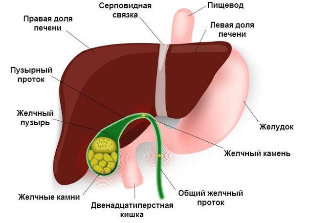 Печень: строение, функции, лечение и профилактика болезней