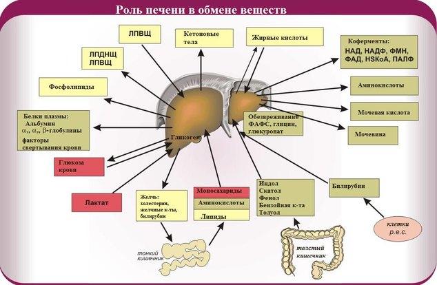 funkcii-pecheni2