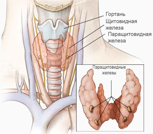 This image illustrates the internal neck anatomy that surrounds the parathyroid glands. References and research: 1. Photographic reference 2. Consultant Dr. Lisa Orloff, MD (University of California, San Francisco) 3. Clark A. Rosen, Deborah Anderson, and Thomas Murry. (1998.) Evaluating Hoarseness: Keeping your patient's voice healthy. American Family Physician. See article @ http://www.aafp.org/afp/980600ap/rosen.html (accessed 17 October 2007) 4. Frank H. Netter. (2006.) Atlas of Human Anatomy. 4th Edition. See: Thyroid Glands, Parathyroid Glands and Larynx, Plates 74-78 5. Anne M. Agur, Arthur F. Dalley. (2005.) Grant's Atlas of Anatomy. 11th edition. See: Anterior Cervical Region, pp. 749-758.