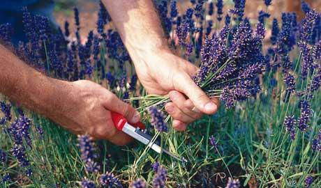 сбор лекарственных цветов весной
